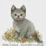 ลูกแมวแสนรัก BRITISH SHORTHAIR