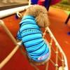 เสื้อโปโลสุนัข ลายทาง สีฟ้า (พร้อมส่ง)