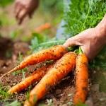 กินแครอทดิบ