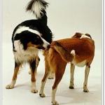 เมื่อน้องหมาเป็นสัด ควรดูแลอย่างไร?