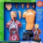 ชุดวิทยาศาสตร์ หุ่นร่างกาย Human Body Model