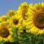 เมล็ดดอกทานตะวัน (100 เมล็ด) thumbnail 1