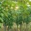 เมล็ดมะละกอฮอลแลนด์/ปักไม้ลาย( 150 เมล็ด) thumbnail 3