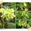 เมล็ดดอกสลิด(ดอกขจร) 40เมล็ด thumbnail 1