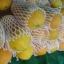 เมล็ดมะละกอฮอลแลนด์/ปักไม้ลาย( 150 เมล็ด) thumbnail 1