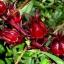 เมล็ดกระเจี๊ยบแดง(30 เมล็ด) thumbnail 1