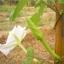 ต้นกล้าดอกชมจันทร์ thumbnail 3