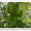 มะนาวแป้นรำไพ (กิ่งชำ) thumbnail 3