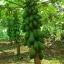 เมล็ดมะละกอฮอลแลนด์/ปักไม้ลาย( 150 เมล็ด) thumbnail 2