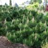 สนดำญี่ปุ่น Japanese Black Pine - Pinus thunbergii