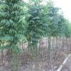 ต้นพันธุ์ผักหวานบ้านที่ดีมีลักษณะเช่นไร?