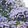 ปอม ปอม ทรี Pom Pom Tree - Dais cotinifolia