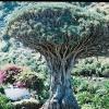 จันผาเลือดมังกร Dragon Blood Tree - Dracaena draco