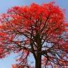 Brachychiton acerifolius - Illawarra Flame Tree เพลิงภานุ แดงออสเตรเลีย