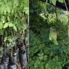 ต้นพันธุ์ผักหวานบ้านที่ไม่ดีมีลักษณะเช่นไร