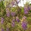 คูนม่วง Bolusanthus speciosus - African Wisteria Tree