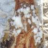 ฺBoswellia sacra กำยานโอมาน-เยเมน พร้อมจำหน่ายแล้ว+ส่งฟรี