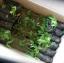 กิ่งผักหวานบ้าน อายุการเพาะ 2เดือน รากเดินเต็มถุงพร้อมปลูก thumbnail 2