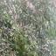 ชาหญ้าดอกข้าว แช่น้ำร้อน 50ชิ้น thumbnail 2