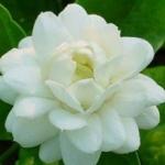 กลิ่น Jasmine(มะลิ)