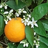 Fresh orange blossom (B)