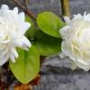 กลิ่น Jasmine (มะลิ) BG 1kg.