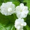 กลิ่น JASMINE (มะลิ) CP 1kg.