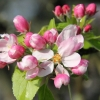 Apple Blossom (B)