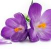 กลิ่น Violet(ไวโอเลท) 1kg.
