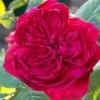 กลิ่น Rose Chulalongkon