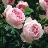 กลิ่น English rose 1kg.