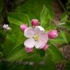 กลิ่น Apple blossom 1kg.