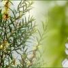 Tea Tree Oil EO (CP)