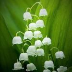 กลิ่น Lily of the valley