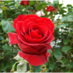 กลิ่น Rose Temptation
