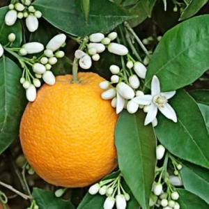 กลิ่น Fresh Orange Blossom
