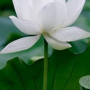 กลิ่น ดอกบัวขาว Lotus