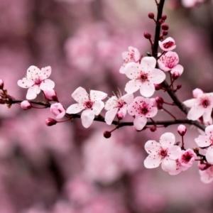 กลิ่น Cherry Blossom