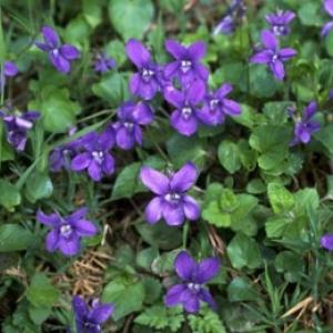 กลิ่น Violet (สวีทไวโอเลท)