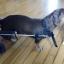 รถเข็นสำหรับสัตว์พิการ วีลแชร์หมา วีลแชร์แมว วีลแชร์สำหรับสัตว์เลี้ยงอายุมาก ขนาดเล็ก สำหรับขาหลัง รุ่น CF-01 thumbnail 16