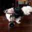 รถเข็นสำหรับสัตว์พิการ วีลแชร์หมา วีลแชร์แมว วีลแชร์สำหรับสัตว์เลี้ยงอายุมาก ขนาดเล็ก 2-4Kg 4-9Kg แบบ 2 ล้อ สำหรับขาหลัง thumbnail 10