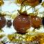 ▽ต้นไม้มงคล ผลไหมนาค ใช้เสริมฮวงจุ้ย โต๊ะทำงาน (1.36Kg) thumbnail 3