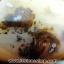 เดนไดทริก อาเกต Dendritic Agate ขนาดใหญ่ขัดมันจากมาดากัสการ์ (368g) thumbnail 17