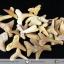 ชุดฟอสซิลฟันฉลามโบราณขนาดเล็ก (บิ่นแตก) (5.0g) thumbnail 1
