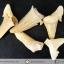 ชุดฟอสซิลฟันฉลามโบราณขนาดเล็ก (บิ่นแตก) (5.0g) thumbnail 4