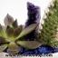 ▽สวนหินตั้งโต๊ะ (Amethyst, Lapis Lazuli) thumbnail 1