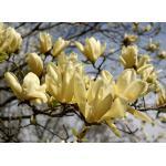 แมกโนเลีย เหลือง Magnolia yellow / 20 เมล็ด