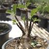 เมล็ดชวนชม ยักษ์ดำ Arabicum black giant/ 10 เมล็ด
