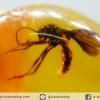 ▽อำพันโดมินิกัน มีแมลงภายใน 2 ตัว Dominican Blue Amber ของแท้(6.9ct)