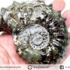 แอมโมไนท์เขาแพะ (Goat Horn Ammonite) จากมาดากัสการ์ (305g)